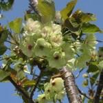ソメイヨシノの後は御衣黄桜。緑色に咲く神秘の桜、御衣黄の名所と魅力と花言葉