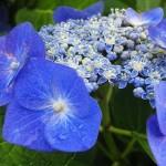 ガクアジサイの花言葉 アジサイの影で咲く美しさを感じずにはいられない。