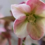 クリスマスローズの花言葉。寂しさに満ちた悲しみに咲く物語。