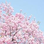 桜の花言葉。その姿は私たち日本人の心そのものでありたい。