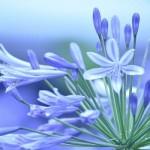 アガパンサス8つの花言葉☆愛の花に咲く恋の訪れ